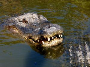 Where to Wrestle Alligators in Orlando